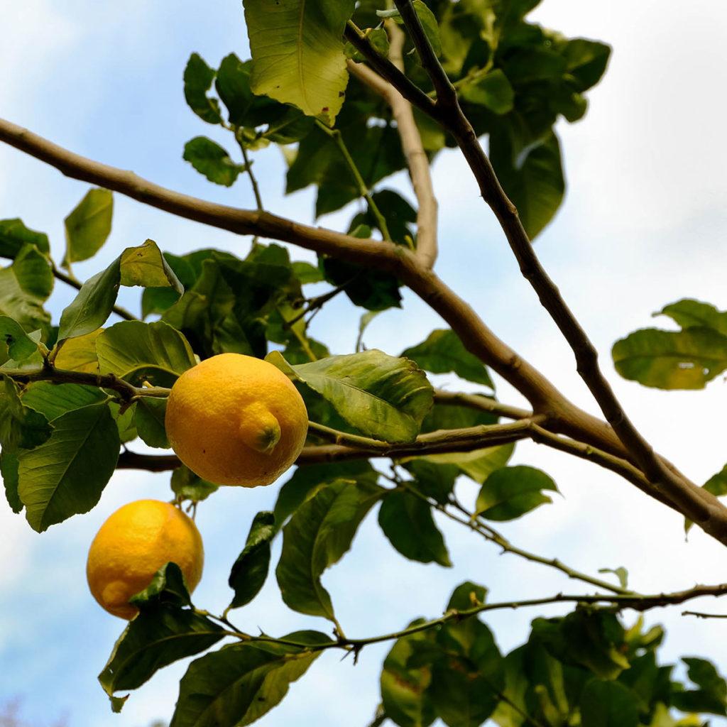 otziotzi-citronnier