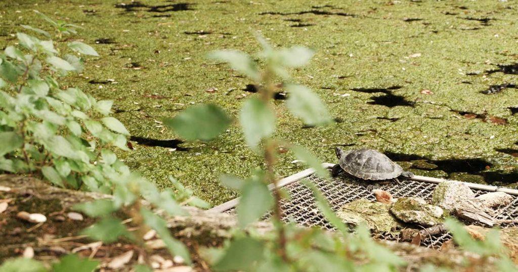 rome jardin de la villa Celimontana tortue