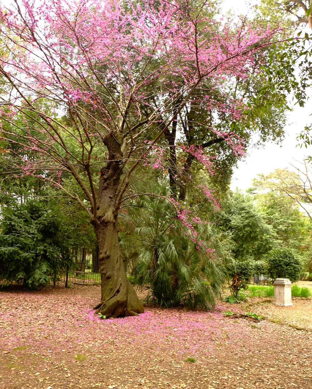 rome jardin de la villa Celimontana arbre fleuri rose